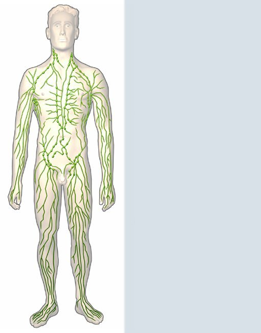 Lymphsystem