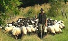 Spiel Mit Schafen