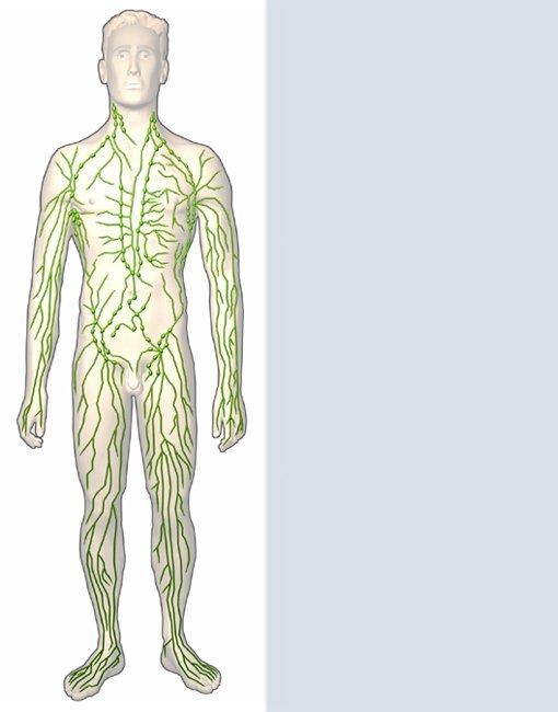 Gemütlich Menschliche Lymphsystem Zeitgenössisch - Anatomie und ...