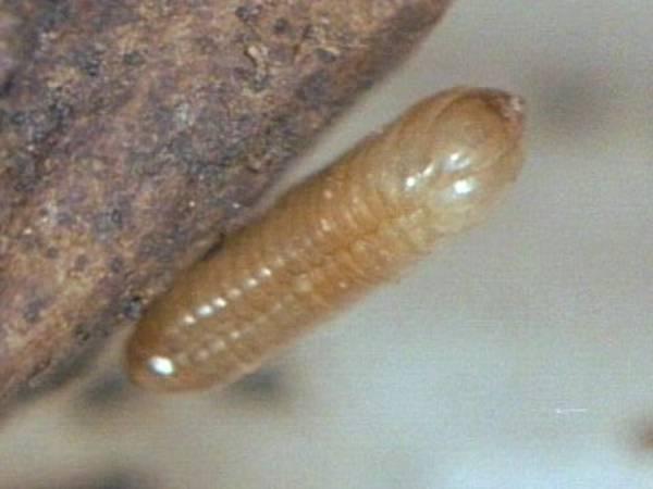 Deutsche Schabe Kakerlaken Hintergrund Inhalt Lebensraume
