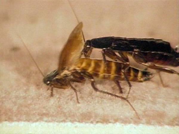 Blatta Orientalis Kakerlaken Hintergrund Inhalt Lebensraume