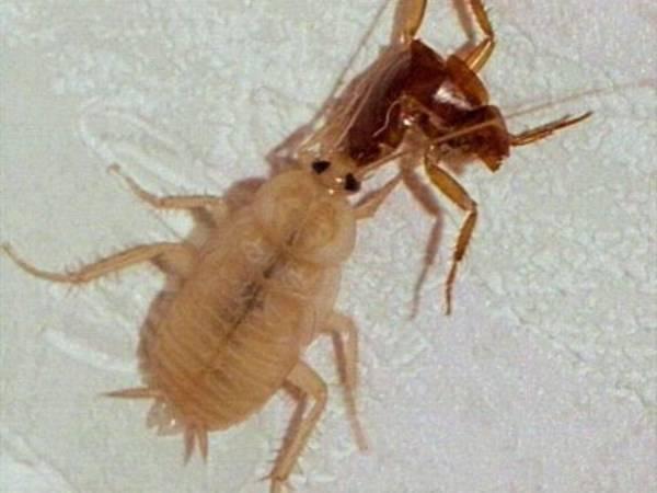 Periplaneta Americana Kakerlaken Hintergrund Inhalt